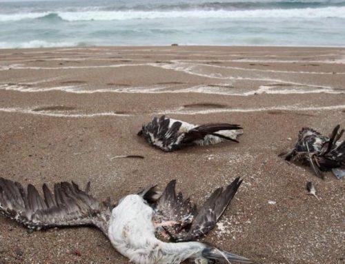 Mortandad de aves en costa panameña es alarmante