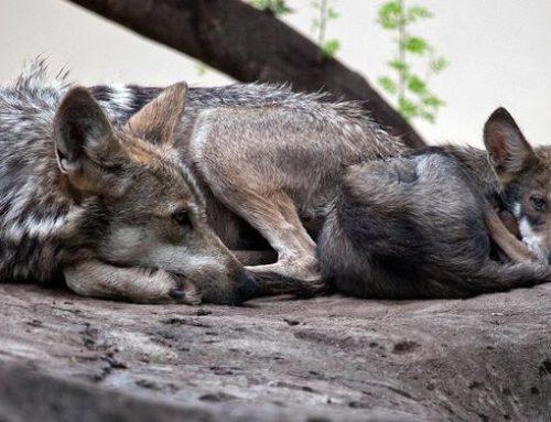 Nacen 6 lobeznas en zoológico del norte de México