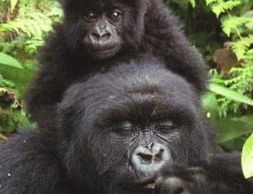 El 60% de las especies de primates están ahora en peligro de extinción