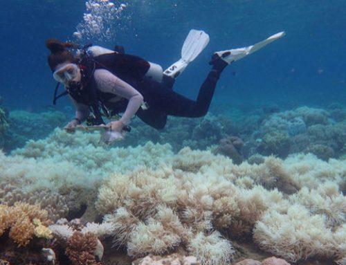 Empieza masivo desove anual en la Gran Barrera de Coral de Australia