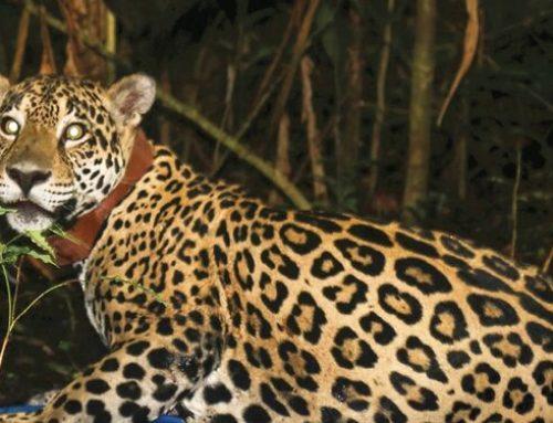 Chucunaque, primera jaguar en Panamá con collar rastreador GPS