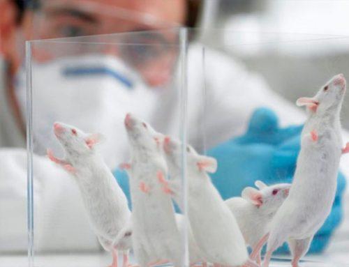Trasplantan con éxito minihígados humanos, creados en laboratorio, en ratas