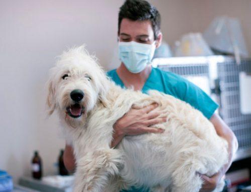 UMH crea el primer test PCR para detectar el coronavirus en mascotas