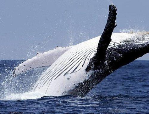 Ballenas jorobadas son recibidas en el Pacífico Panameño