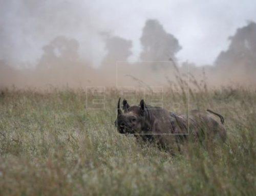 La caza furtiva de rinocerontes cayó un 53 % en lo que va de año en Sudáfrica