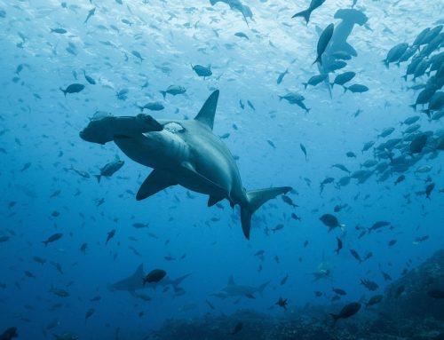 La travesía de un tiburón martillo: de Galápagos a Cocos a 50 km por día
