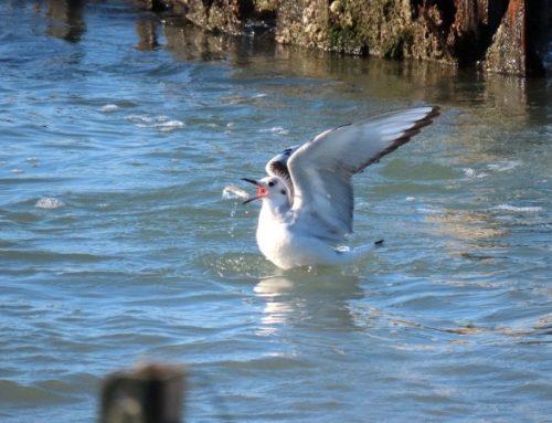 """Descubren en Florida presencia """"extremadamente rara"""" de gaviota de Islandia"""