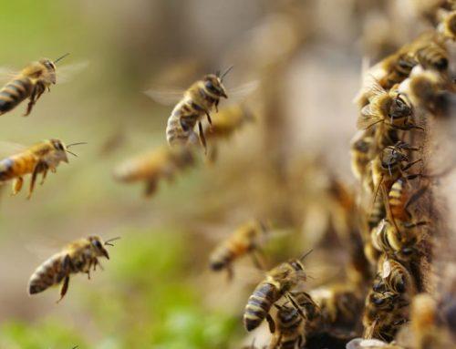 """Una vacuna para las abejas contra el """"apocalipsis de los insectos"""""""